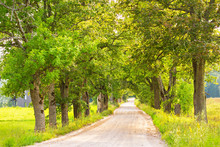 Dirt Road With Oak Alley In A ...