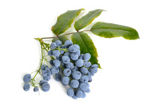 Twig Mahonia With Berries Isol...
