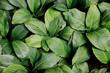 Leinwandbild Motiv tropical leaf texture green leaves Background, foliage nature