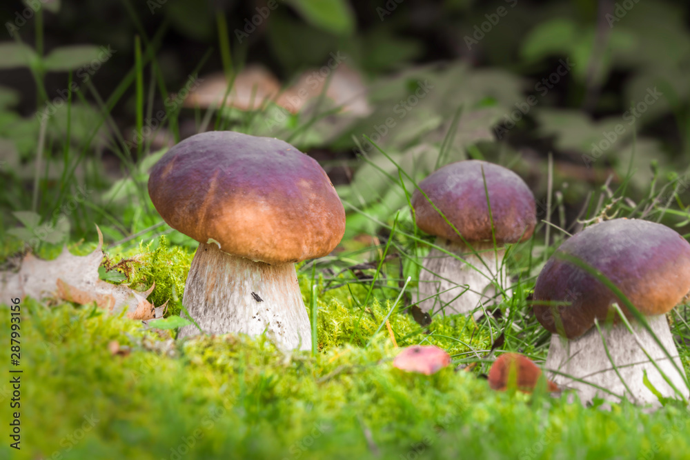 Fototapety, obrazy: King of mushrooms ( boletus) in the forest. White mushrooms on green background.