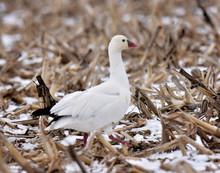 Goose Resting In Corn Stalks