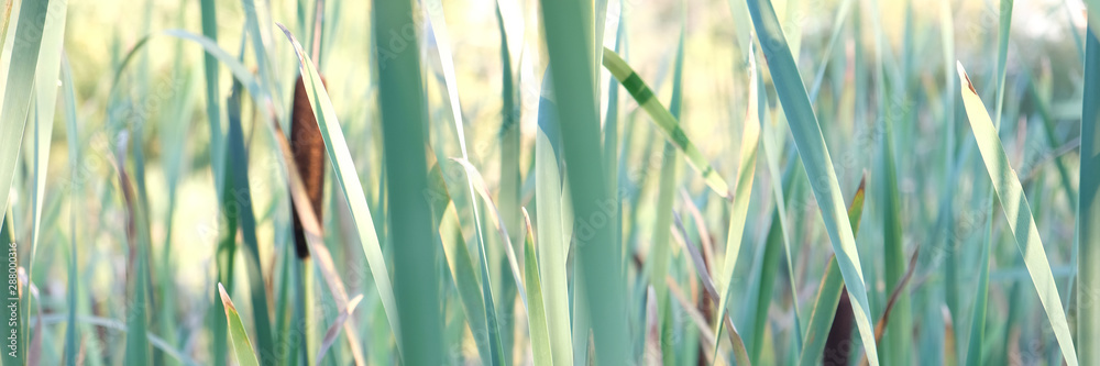 Fototapety, obrazy: These large reeds are sometimes called bulrushes.