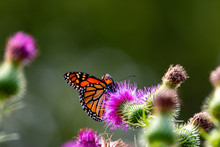 Monarch On Thistle. A Large Mo...