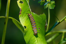 Monarch Catterpillar On A Milkweed Plant. The Leafs Have Been Eaten As The Caterpillar Prepares To Transform