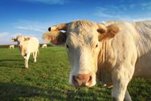 Belle Vache Blonde D'aquitaine...