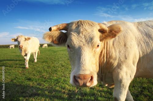 Photo sur Aluminium Vache Belle vache blonde d'aquitaine dans un champ