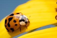 Asian Ladybeetle, Harmonia Axyridis, On A Bright Yellow Wild Sunflower Petal With Blue Sky Background