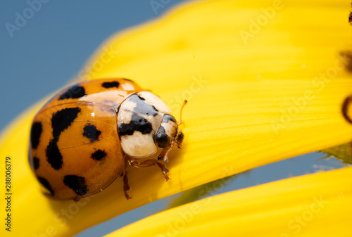 fototapeta na ścianę Asian Ladybeetle, Harmonia axyridis, on a bright yellow wild Sunflower petal with blue sky background