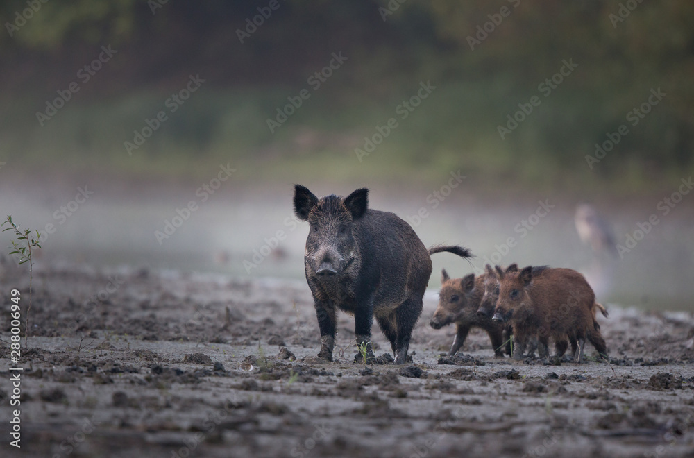 Fototapeta Wild boar with piglets walking in mud