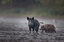 Wild Boar With Piglets Walking...