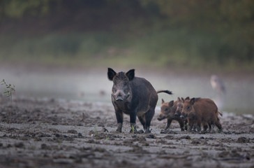 Wild boar with piglets walking in mud