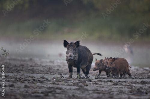 Fototapeta Wild boar with piglets walking in mud obraz