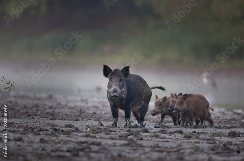 Obraz Wild boar with piglets walking in mud - fototapety do salonu