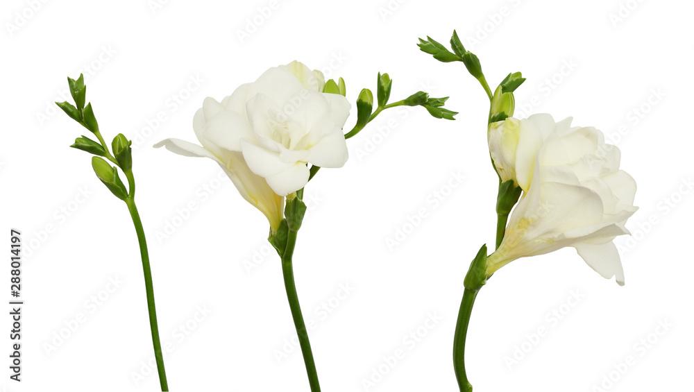 Fototapeta Set of freesia flowers and buds
