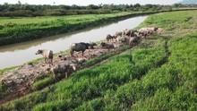 Water Buffaloes Beside The Riv...