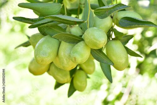 Obraz na plátně  Jujube jojoba plant tree