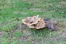 Dryad's Saddle Polyporus Squamosus Polypore Fungus On An Old Tree Stump
