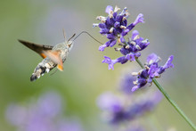 The hummingbird Hawk-moth, Macroglossum Stellatarum Is Hovering And Drinking The Nectar From The Beautiful Flower In Our Garden. Flying Moth With Nice Colorful Background...
