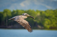 The Brown Pelican, Pelecanus Occidentalis Is Just Taking Off And Flying Over The Blue Lagoon In The Green Background, Trinidad..