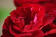 canvas print picture - Pétalos rojos de una rosa