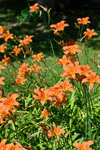 Orange Flower Daylily Outdoors...