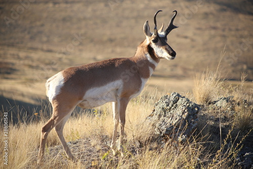 Foto op Aluminium Antilope Pronghorn antelope posing in Montana prairie