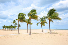 Strong Winds Sway Palm Trees A...