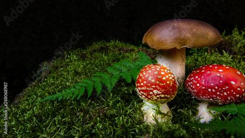 Fototapeta  Zwei rote Fliegenpilze neben Steinpilz im schwarzwälder vermoosten Wald