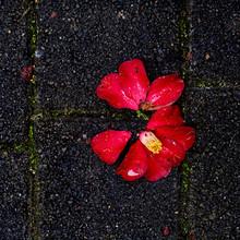 A Fallen Camillia Flower Lying Broken On Paving Stones.
