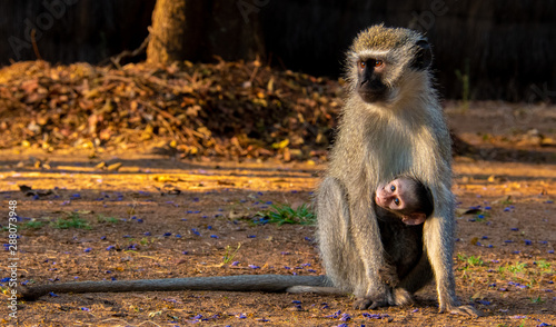 Mother and infant monkey Canvas Print