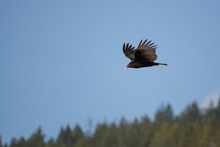 A Turkey Vulture Flying Over H...