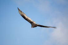 A Turkey Vulture Flying Over Head With Clear Blue Sky.