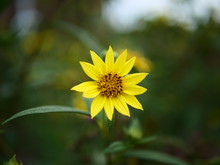 Yellow Flower And Green Leaves With Bokey Nature Background