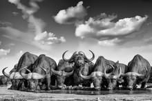 Cape Buffalo / African Buffalo Herd At The Waterhole