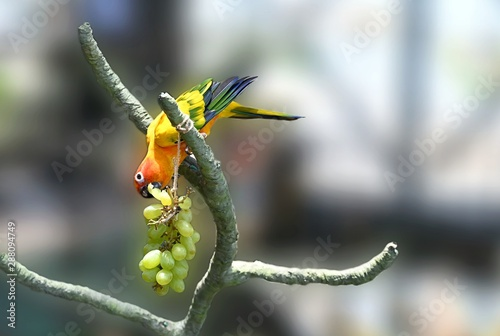 Colorful Parrot Sun Conure Eating Grapes Wallpaper Mural