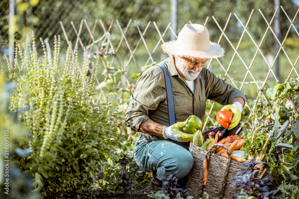Fototapety, obrazy: Senior well-dressed man picking up fresh vegetable harvest on an organic garden. Concept of growing organic products and active retirement