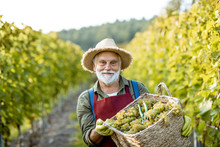 Portrait Of A Happy Senior Winemaker In Apron And Straw Hat With Basket Full Of Freshly Picked Up Grapes On The Vinyard