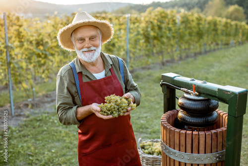 Senior winemaker holding freshly picked up grapes ready to put into the winepres Wallpaper Mural