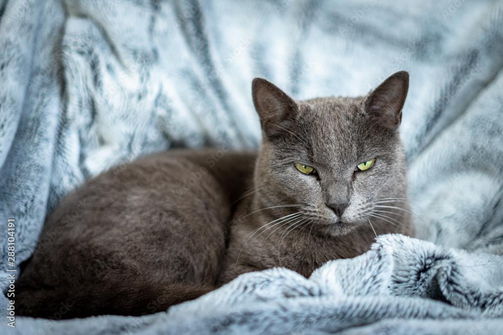 Fototapeta un chat gris sur couverture bleu au regard méfiant