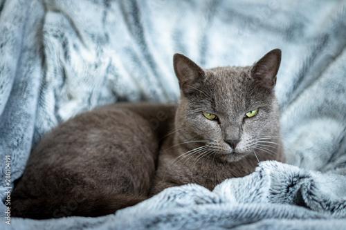 fototapeta na ścianę un chat gris sur couverture bleu au regard méfiant