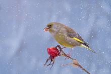 European Greenfinch (Carduelis Chloris) Feeding Frozen Rose Hip Seeds In Snowfall
