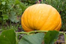Big Pumpkin Growing On A Gardenl. Autumn Or Fall Harvest.