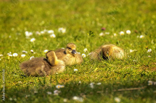 Photo  Young goslings (Anser anser) are on a fresh green meadow with daisies