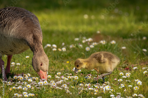 Young goslings (Anser anser) are on a fresh green meadow with daisies Wallpaper Mural