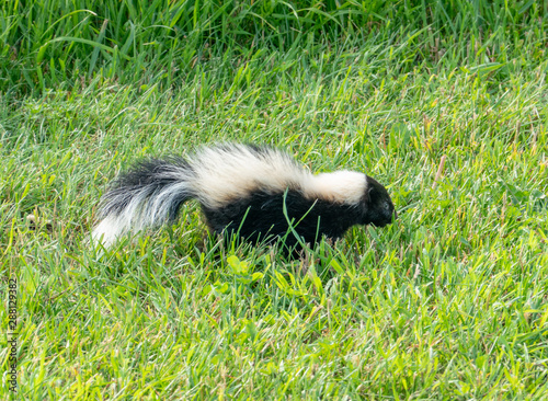 Skunk in the Yard Tablou Canvas