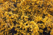 Australian Wattle, Flowering I...