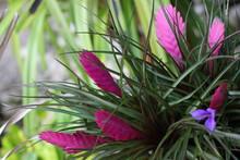 Pink Quill Plant, Tillandsia Cyanea, Tillandsia Lindenii.