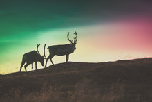 Silhouette Of Two Deers Against The Gradient Colored Sunset Sky