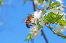 A Bee Sits On A Branch Of Flowering Sweet Cherry With White Delicate Petals And Green Leaves Against A Blue Sky