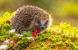 Hedgehog in Winter with green moss, ice and red berries.  Facing forwards.  Horizontal.  Landscape.  Concept: Christmas, Calendars, Christmas Cards.